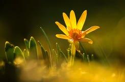 Flor amarela com luzes finas Imagem de Stock Royalty Free