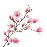 Flor abloom cor-de-rosa da magnólia Imagem de Stock