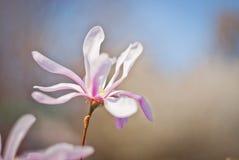 Flor abloom cor-de-rosa da magnólia Imagens de Stock