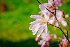 Flor abloom cor-de-rosa da magnólia Foto de Stock Royalty Free