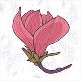 Flor abloom cor-de-rosa da magnólia Fotos de Stock