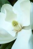Flor abloom cor-de-rosa da magnólia Imagens de Stock Royalty Free