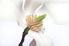 Flor abloom cor-de-rosa da magnólia foto de stock