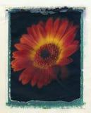Flor abstracta del gerbera Imágenes de archivo libres de regalías