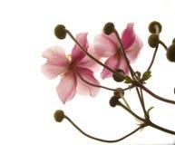 Flor abstrata cor-de-rosa no branco Foto de Stock