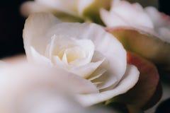Flor abstrata da rosa do branco do borrão que floresce no fundo obscuro com foco macio fotografia de stock