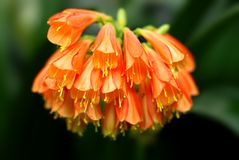 Flor acampanada Fotografía de archivo