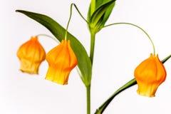Flor acampanada al revés anaranjada grande con los troncos verdes Foto de archivo libre de regalías