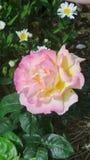 Flor admitida el arboreto Reino Unido imagenes de archivo