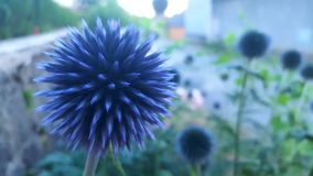 Flor afiada azul Fotos de Stock Royalty Free