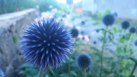 Flor afiada azul Imagens de Stock