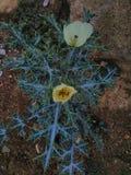 flor africana verde de w Imagens de Stock Royalty Free