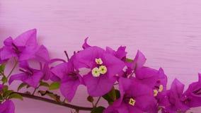 Flor agradável bonita da cor da buganvília fotos de stock royalty free