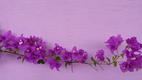Flor agradável bonita da cor da buganvília foto de stock royalty free