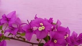 Flor agradável bonita da cor da buganvília fotos de stock