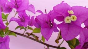 Flor agradável bonita da cor da buganvília fotografia de stock royalty free