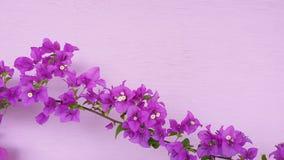 Flor agradável bonita da cor da buganvília imagem de stock