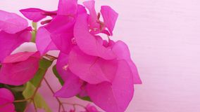 Flor agradável bonita da cor da buganvília imagens de stock royalty free