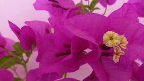 Flor agradável bonita da cor da buganvília imagens de stock