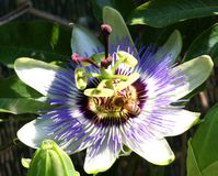 A flor agradável chamou paixão de Jesus 'floresceu na primavera com Fotografia de Stock Royalty Free