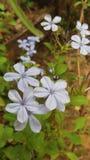 Flor agradável cingalesa do ` s nome reconfortante do ` s é kohoba do rata imagem de stock royalty free