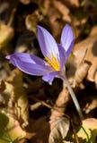 Flor agradável do açafrão Foto de Stock Royalty Free