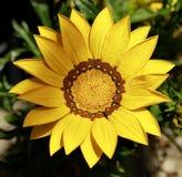 Flor agradável do gerbera Fotos de Stock Royalty Free