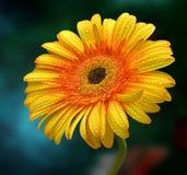 Flor agradável do gerbera Foto de Stock Royalty Free