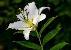Flor agradável do lilium fotos de stock royalty free