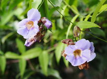 Flor agradável macia roxa azul bonita da videira do pulso de disparo do louro Fotos de Stock