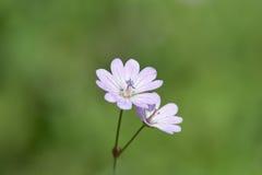 Flor aislada Imágenes de archivo libres de regalías