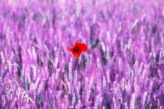 Flor aislada de la amapola en un campo del feld color alterado imágenes de archivo libres de regalías