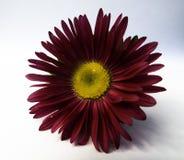Flor aislada del aster Foto de archivo libre de regalías