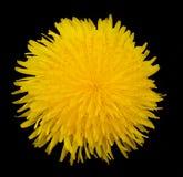 Flor aislada del diente de león Imagen de archivo