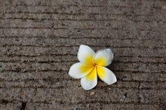 Flor aislada del Frangipani en la piedra Imagen de archivo