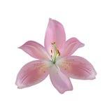 Flor aislada del lirio Foto de archivo
