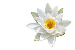 Flor aislada del lirio de agua Imagen de archivo