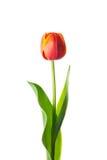 Flor aislada del tulipán Imagen de archivo libre de regalías