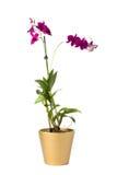 Flor aislada en crisol Fotos de archivo libres de regalías