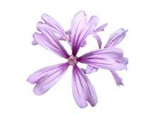 Flor aislada en el fondo blanco Imagen de archivo libre de regalías