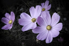 Flor aislada en un negro Fotos de archivo libres de regalías