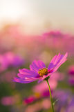 Flor al aire libre del cosmos Fotos de archivo libres de regalías