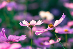Flor al aire libre del cosmos Imagen de archivo libre de regalías