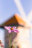 Flor al aire libre del cosmos Fotos de archivo