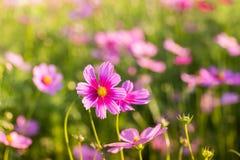 Flor al aire libre del cosmos Imagen de archivo