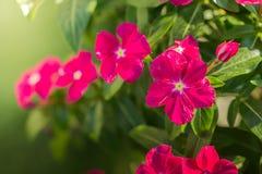 Flor al aire libre del cosmos Foto de archivo libre de regalías