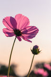 Flor al aire libre del cosmos Fotografía de archivo libre de regalías