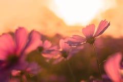 Flor al aire libre del cosmos Imágenes de archivo libres de regalías
