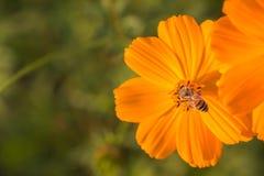 Flor al aire libre del cosmos Imagenes de archivo