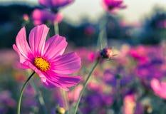 Flor al aire libre del cosmos Fotografía de archivo